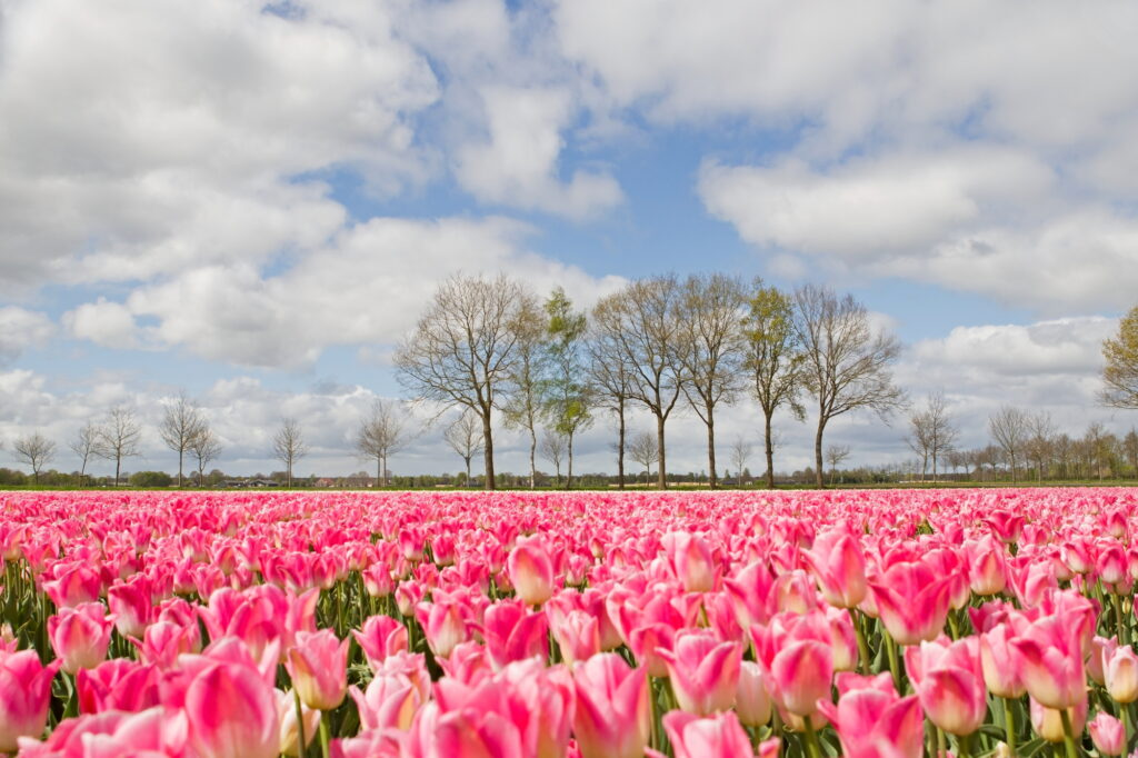 Spring Time Tulips - How Self Storage Can Help Your Garden Thrive This Spring!